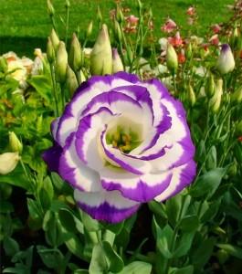 белый лизиантус с фиолетовой каймой