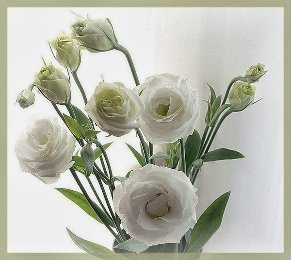 белый цветок ирландской розы
