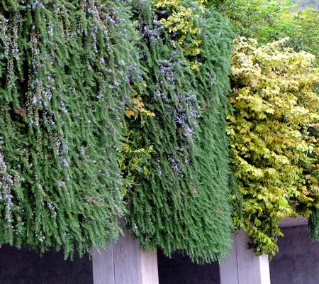 Розмарин, как декоративное растение