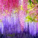 разноцветье глицинии