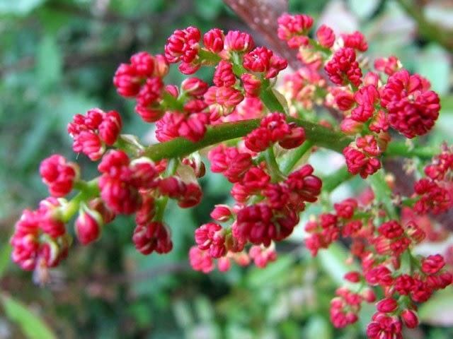 цветы фисташкового дерева