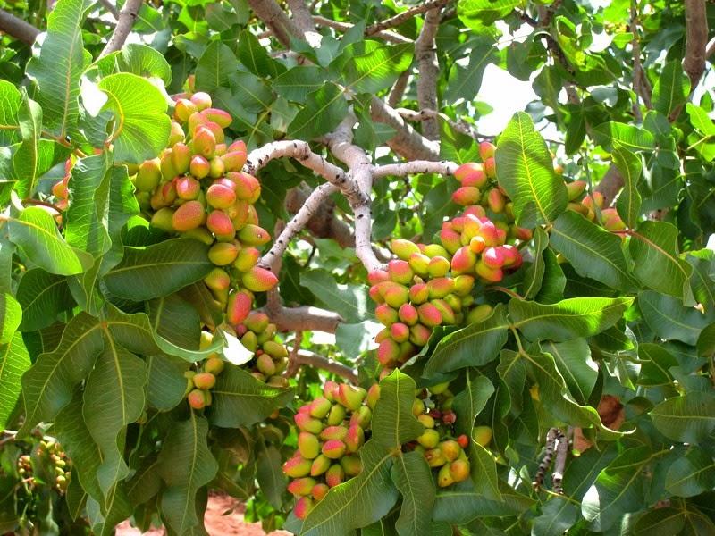 созревающие плоды фисташкового дерева